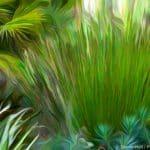 Chondropetalum tectorum - Small Cape Rush exploding in Sherry Merciari garden