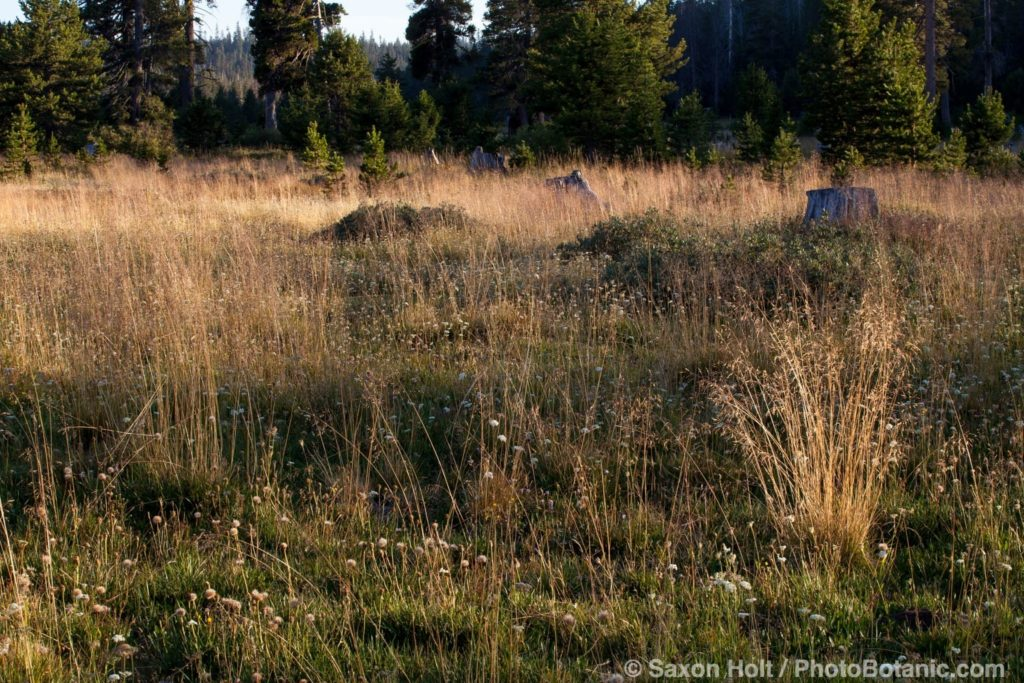 California native grass in Sierra meadow