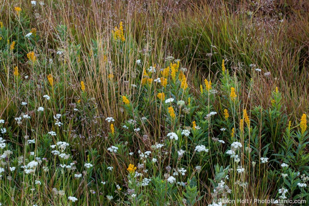 California native plant meadow
