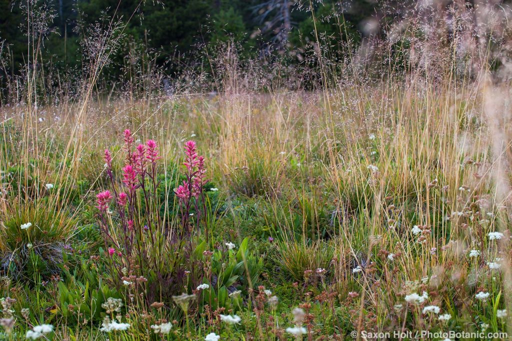 Deschampsia cespitosa, tufted hairgrass California native plant Sierra meadow with Castilleja miniata - Great Red Paintbrush.