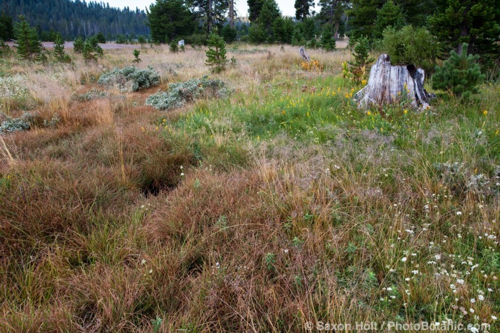 Carex sp in damp meadow seep at headwaters South Fork American River, California native plant meadow
