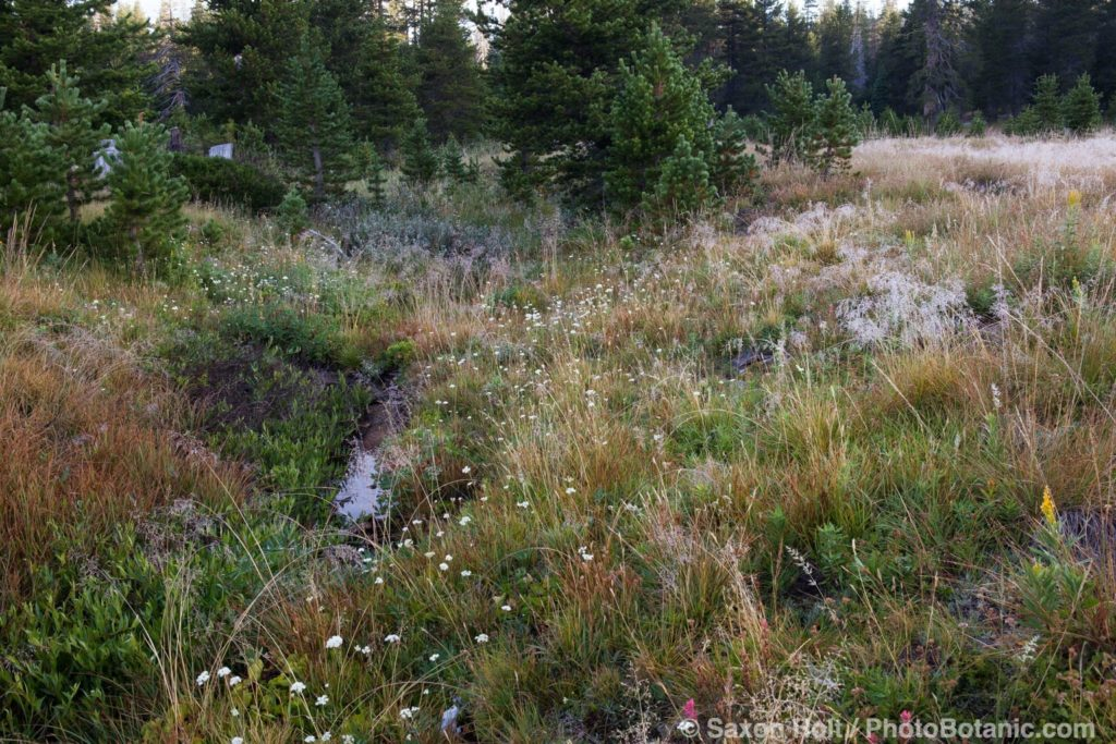 California native plant meadow at headwaters South Fork American River