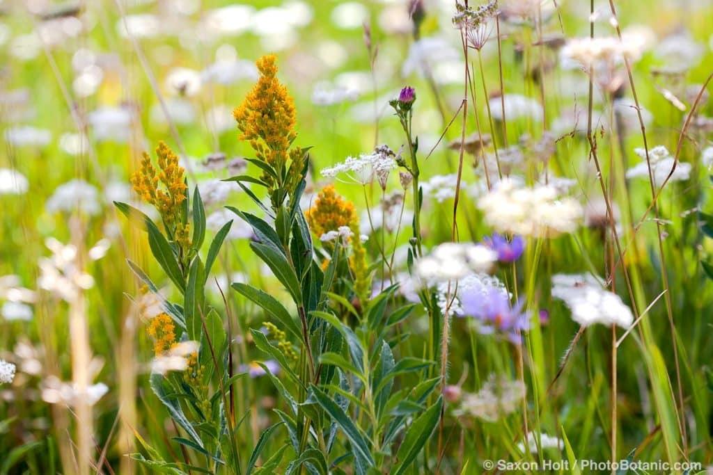 Solidago canadensis ssp. elongata, Canada Goldenrod flowering in California native plant Sierra meadow