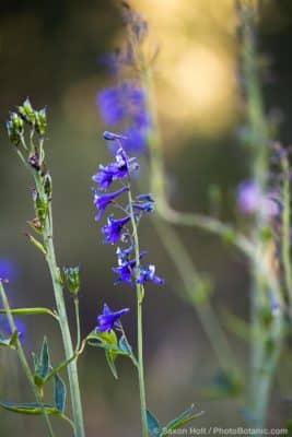 Delphinium glaucum, Sierra Larkspur, blue flowering wildflower Martin Meadow Eldorado National Forest