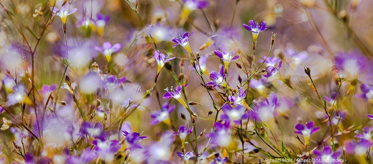 Navarretia leptalea - Bridges' pincushion plant (aka Gilia leptalea) flowering annual in Sierra meadow, California native plant