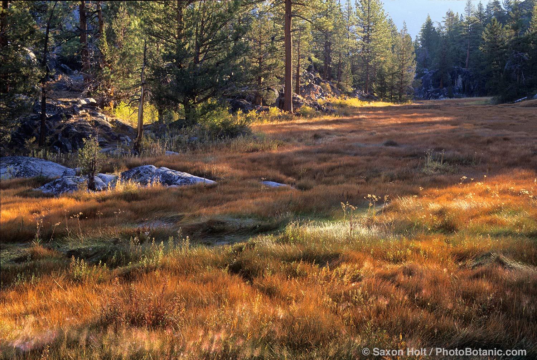 Sierra meadow of Carex in fall color
