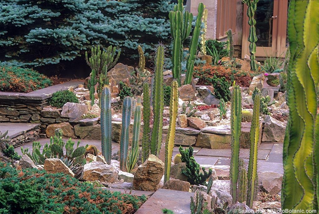 Cactus in Joe Grusczak garden, Connecticut