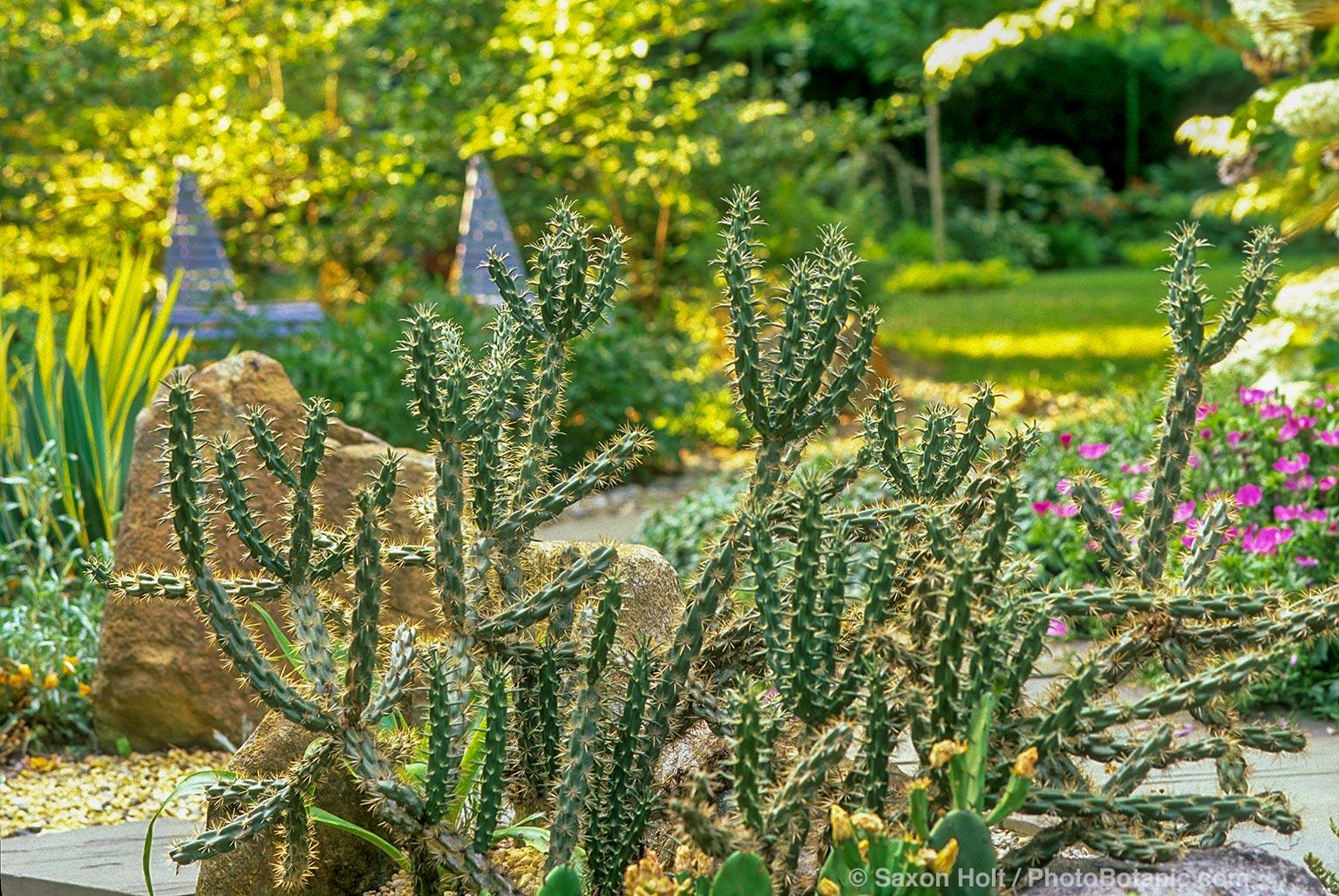Hardy cactus Opuntia imbricata in Delaware garden