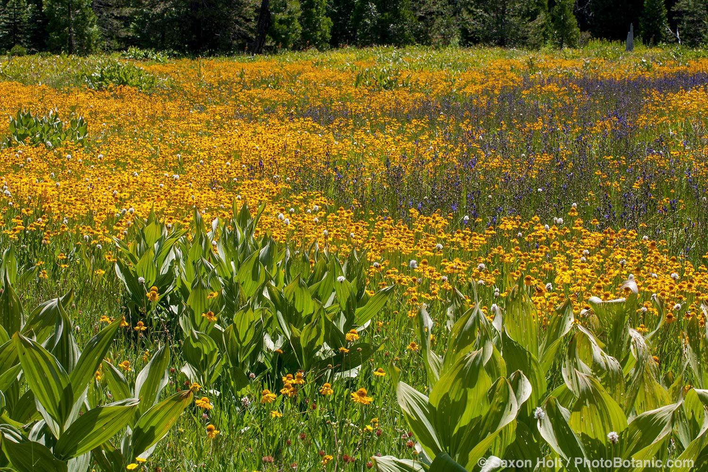 Summer wildflowers at Big Meadows, El Dorado National Forest, California