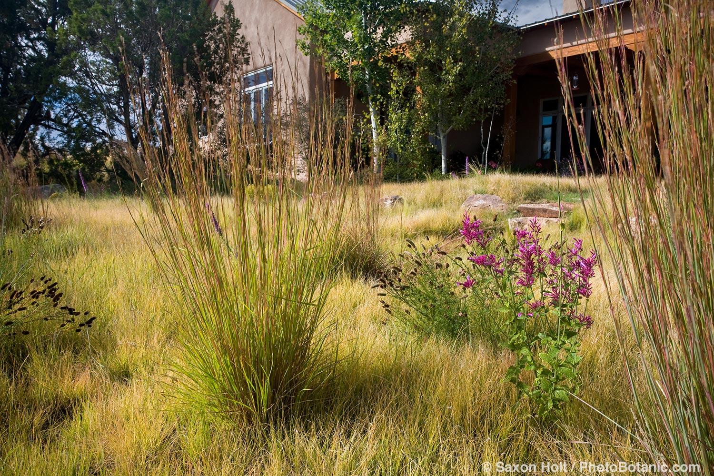 Little Bluestem grass (Schizachyrium scoparium) accent grass and wildflowers in Buffalo grass (Buchloe dactyloides) sustainable lawn meadow garden, design by Judith Phillips