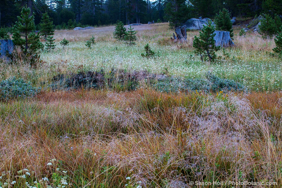 A High Sierra source of South Fork American River - Carex springs, California native plant meadow.