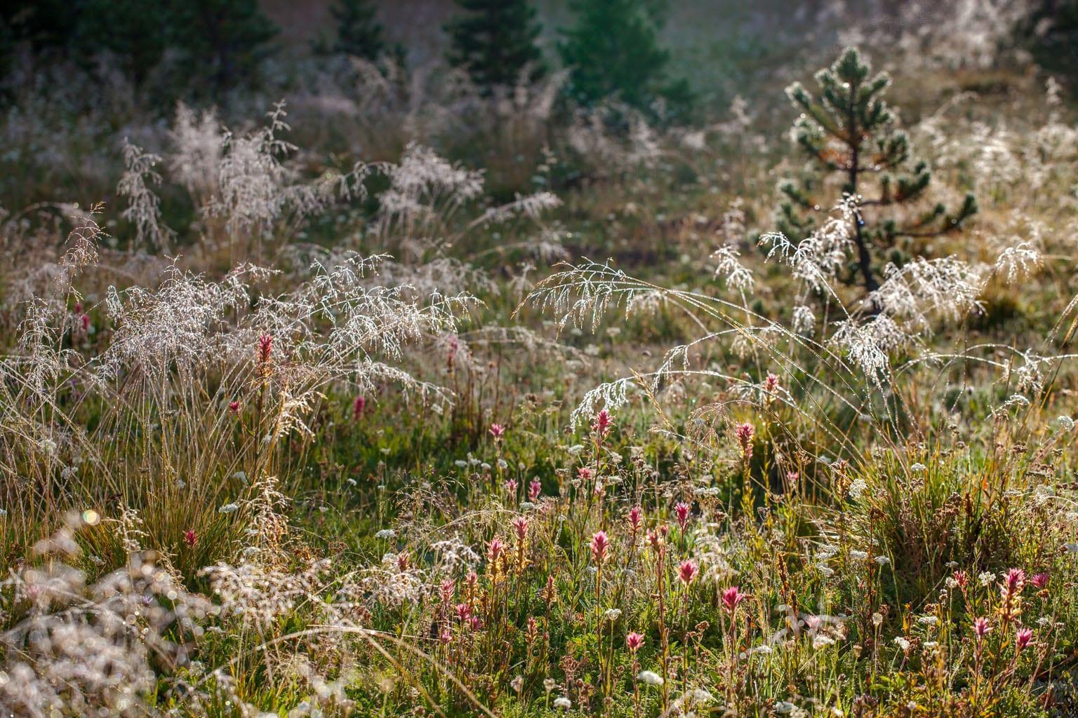 Deschampsia cespitosa, tufted hairgrass California native plant Sierra meadow with Castilleja miniata - Great Red Paintbrush.