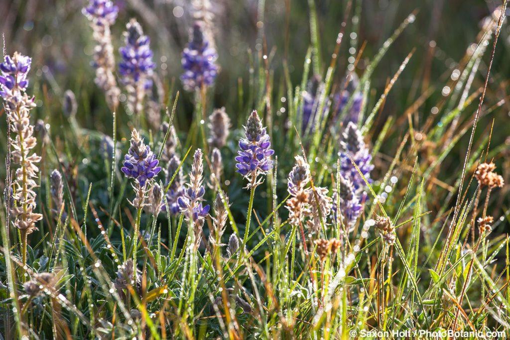 Lupinus formosa - Blue flowering summer lupine in California native plant Sierra meadow