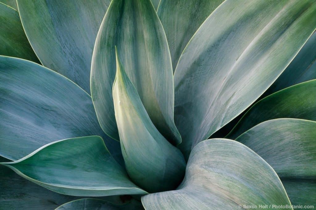 Agave attenuata 'Nova' gray foliage spineless succulent