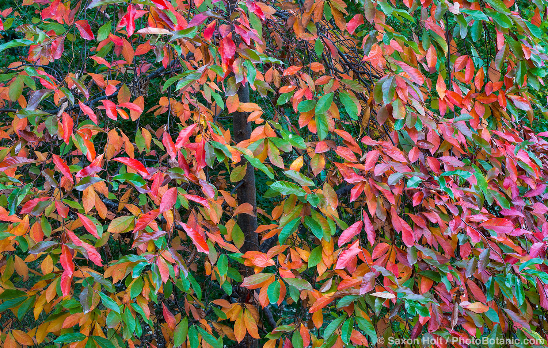 Tapestry of autumn leaves, Tupelo tree - Nyssa sylvatica
