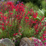 Red Penstemon, summer flower drought tolerant perennial in California garden