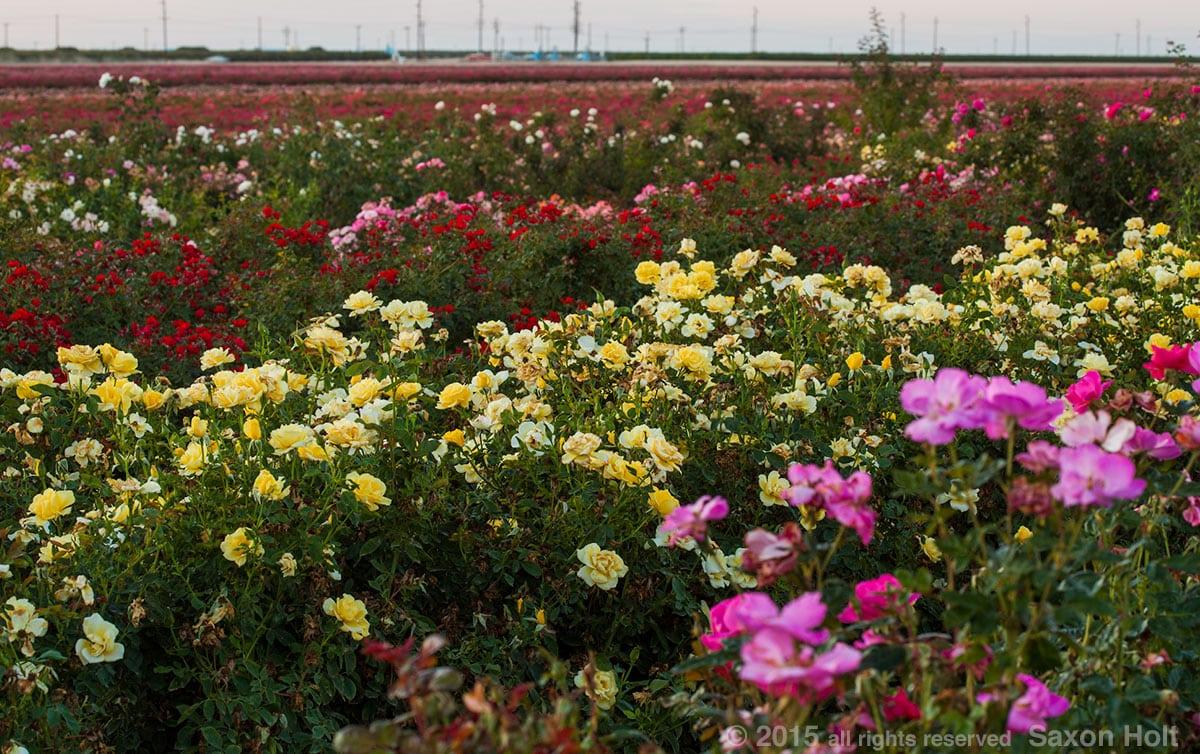 Rose field Wasco, California, Star Roses