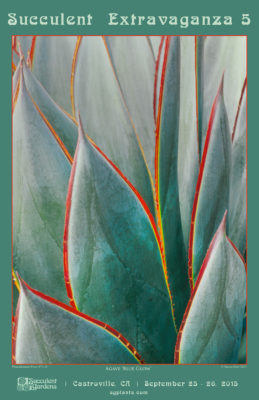 Agave 'Blue Glow' with red edged leaf