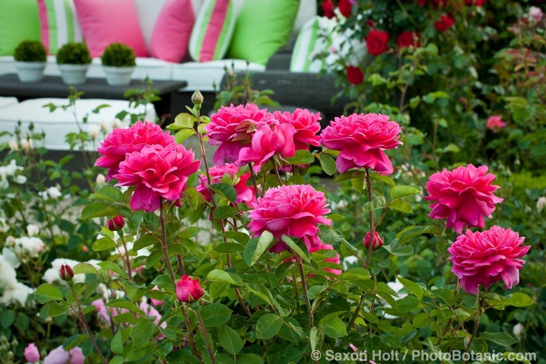 Red flower Rosa 'Sophy's Rose' in California garden of English (Austin) roses, spring flowers