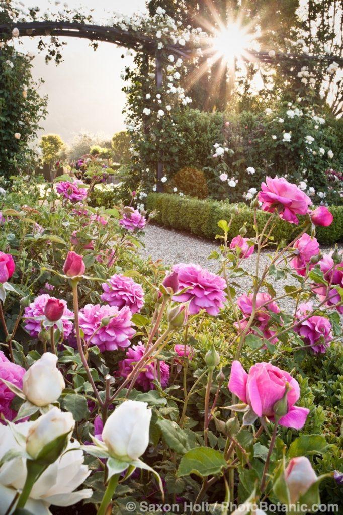 David Austin English Rose (Rosa ) 'Christopher Marlowe'; dawn in California rose garden.