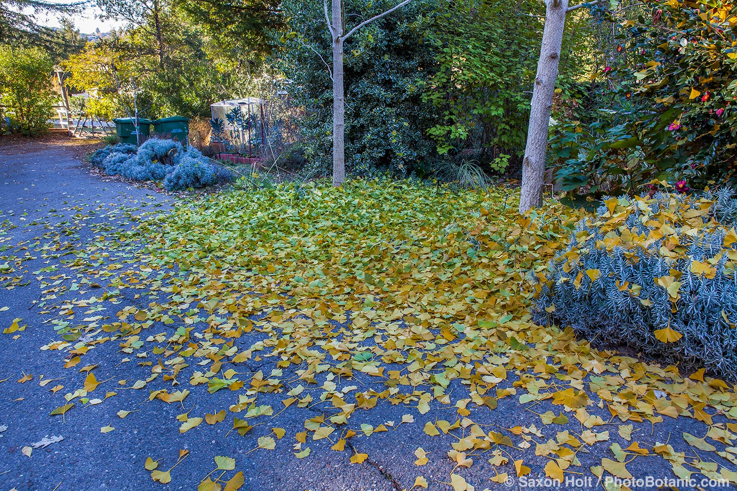 Ginkgo biloba tree leaves in puddle on driveway after autumn frost.