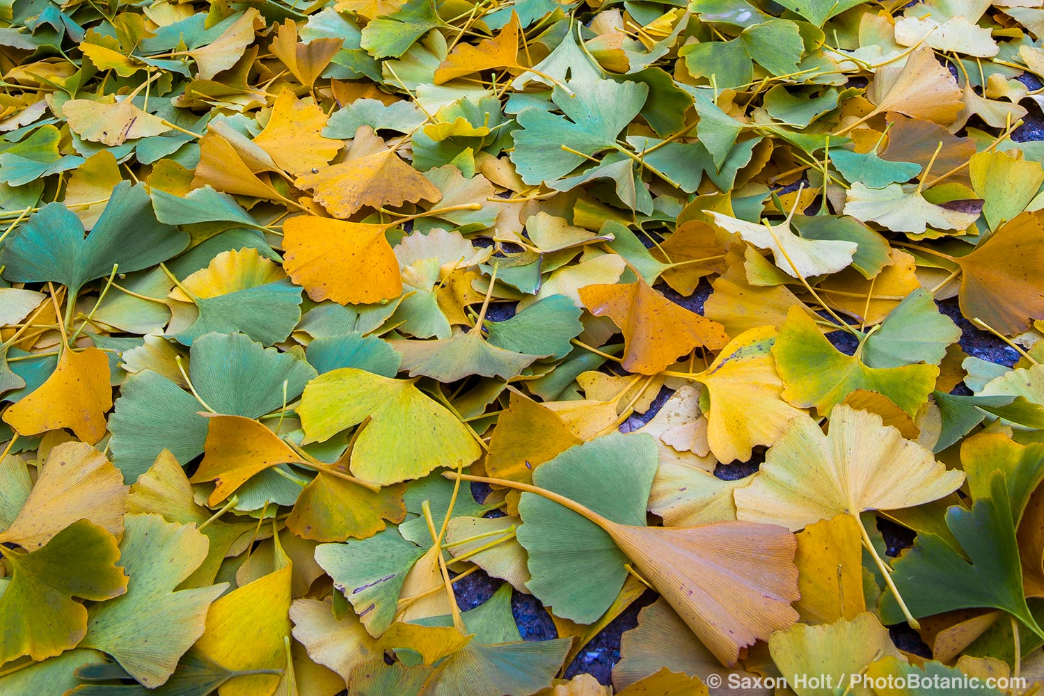 Green and gold Ginkgo biloba tree leaves on ground in autumn.