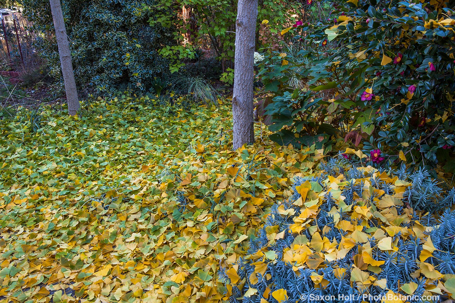 Ginkgo biloba tree leaves covering ground after autumn frost.