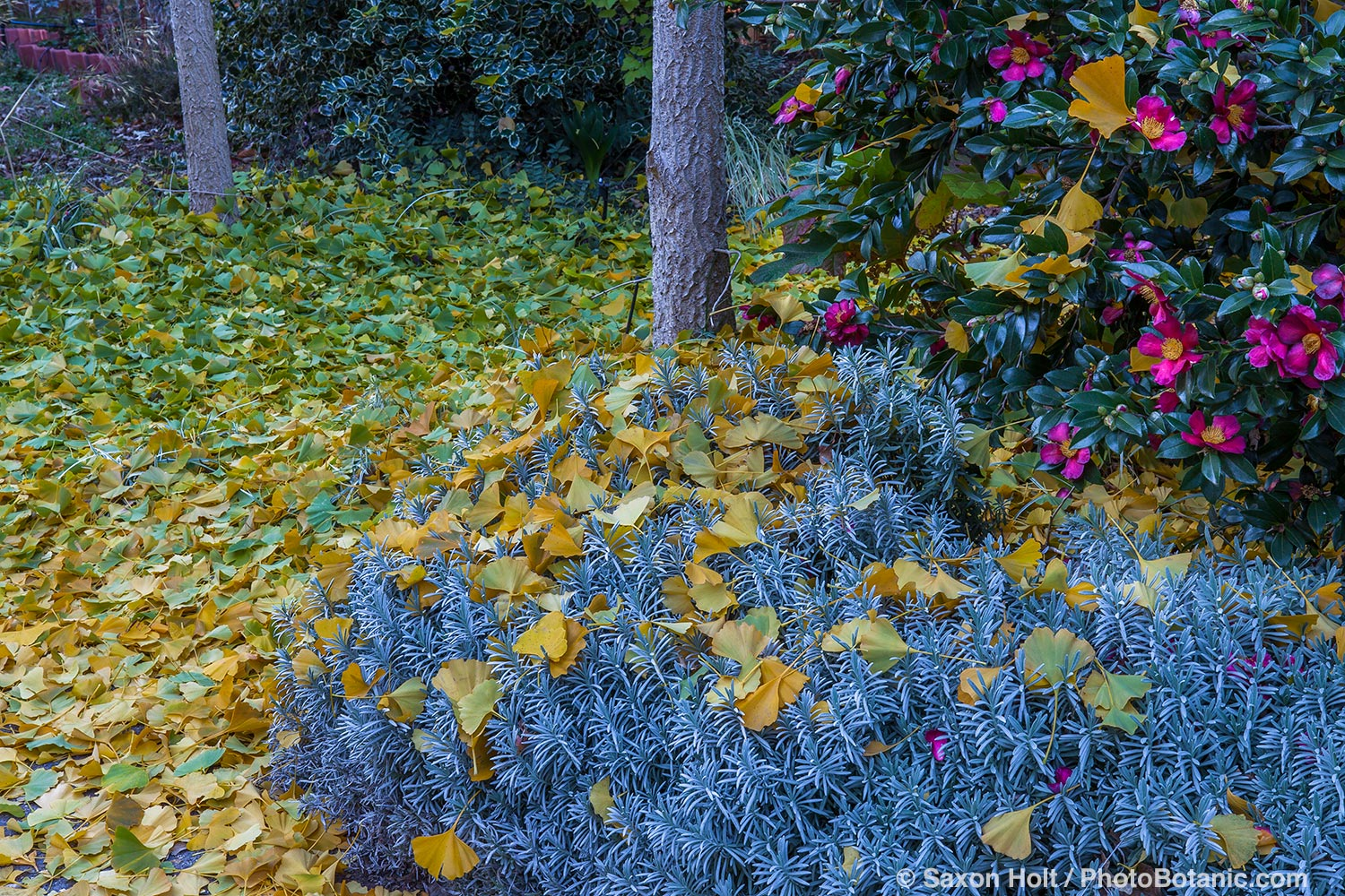 Gold autumn leaves of Ginkgo biloba tree on silver gray lavender with Camellia sasanqua 'Yuletide'