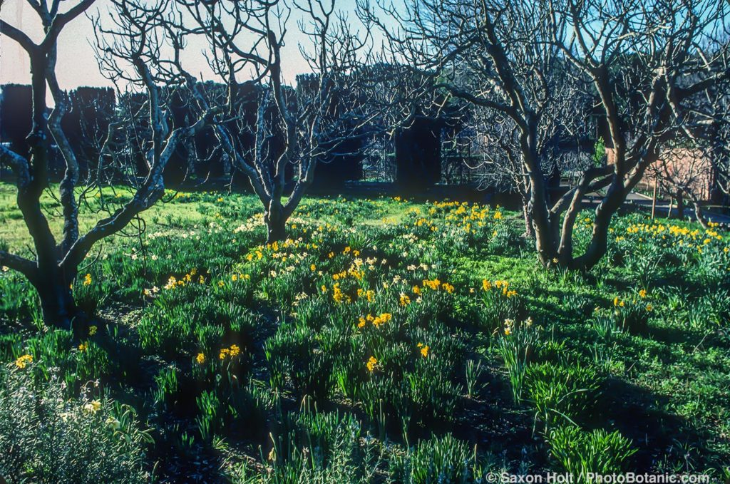 Filoli daffodil meadow in spring bright light