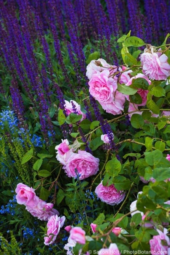Rosa 'Strawberry Hill' English Rose with Salvia nemorosa 'Caradonna' Garden sage