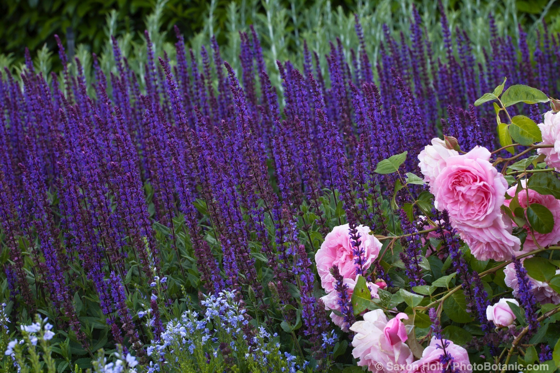 Salvia nemorosa 'Caradonna', Garden sage aka Meadow Sage or Balkan Clary, with Rosa 'Strawberry Hill' English Rose in mixed border