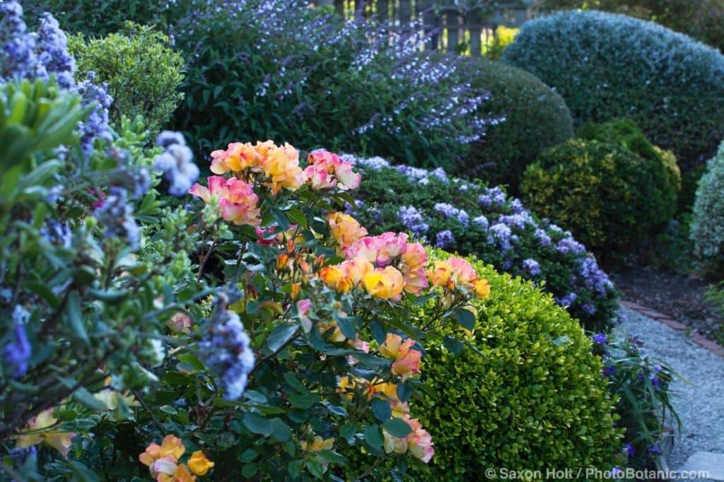Sally Robertson's California cottage garden; 'Flutterbye' Rose.