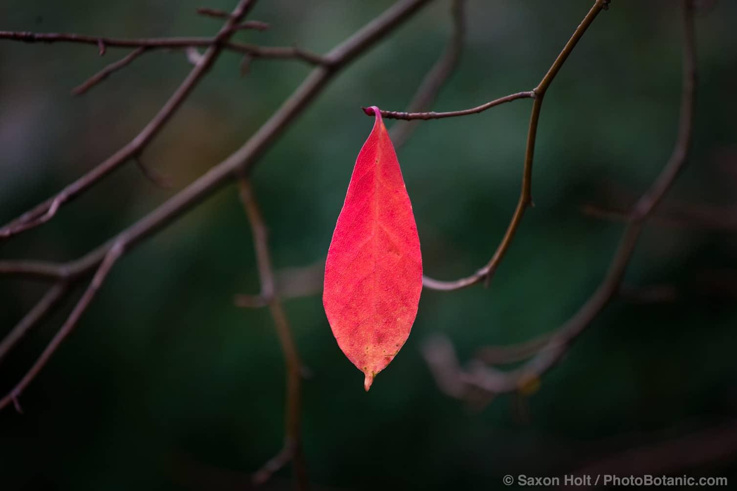 Tupelo Leaf