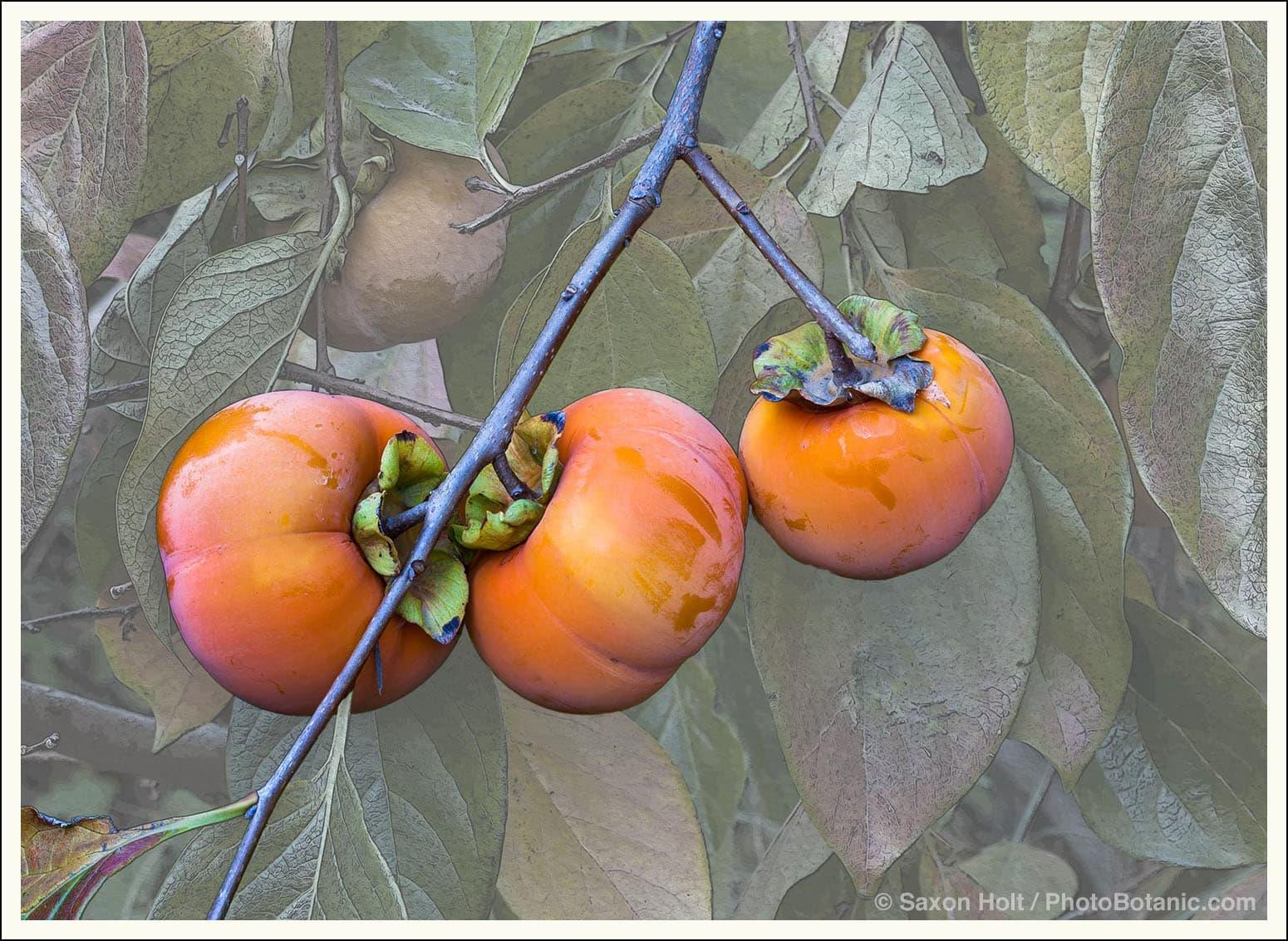 Fuyu Persimmon ripening on tree in California garden