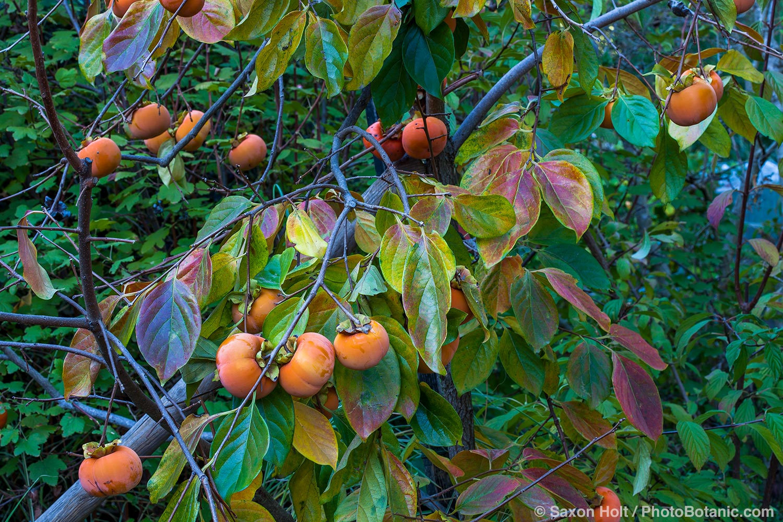 Fuyu Persimmons on tree