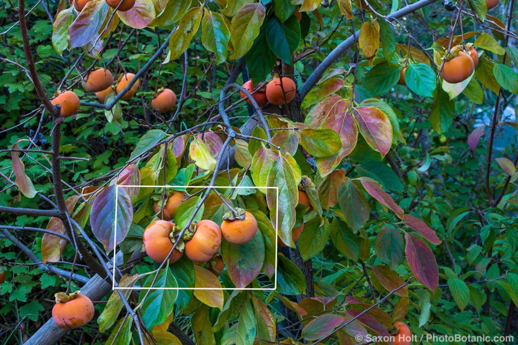 Fuyu Persimmons framed on tree