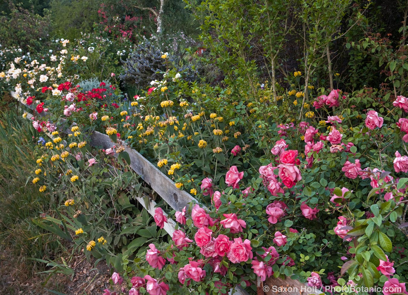 Old fence with flowers and roses (pink American Beauty) and drought tolerant plants (Phlomis) Maile Arnold California country garden