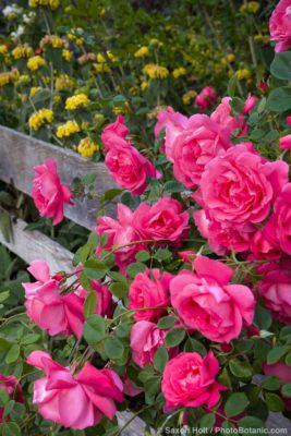 Pink flowering climbing rose (rosa) 'American Beauty' cascading over old fence
