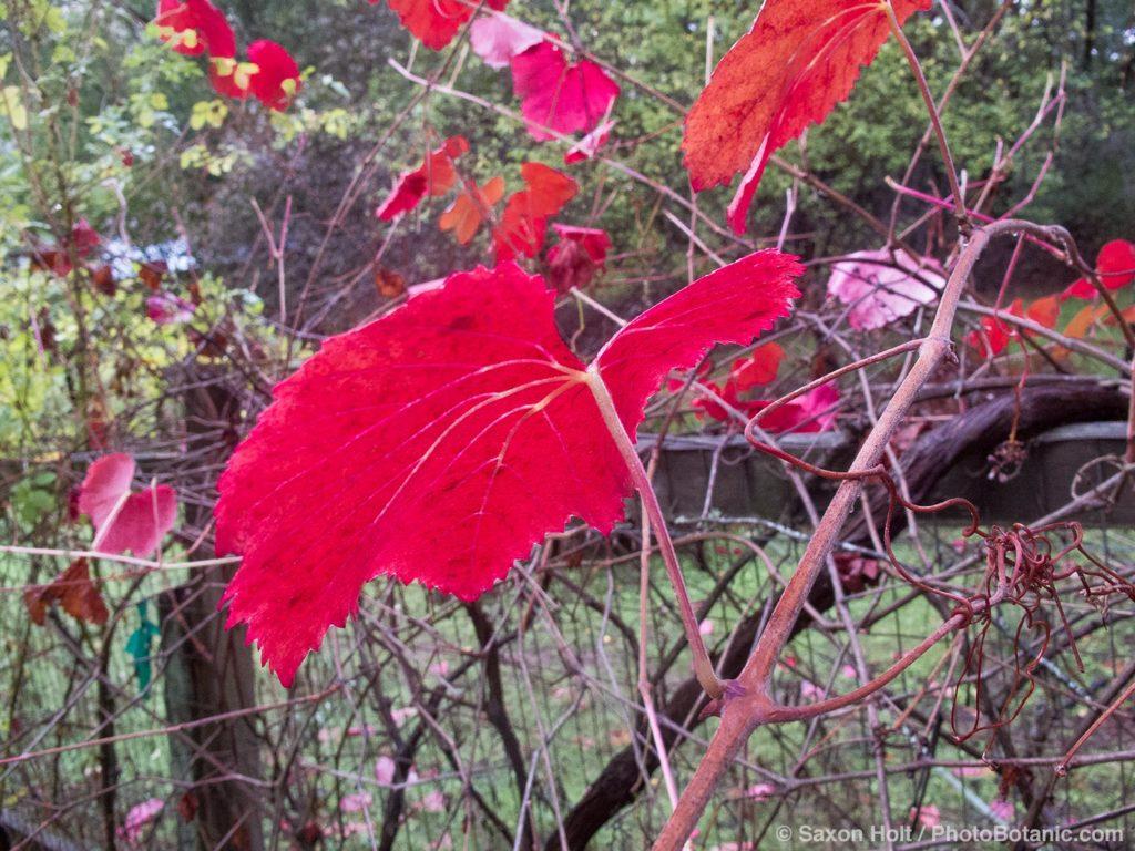 Red grape vine leaf 'Roger's Red' (Vitis) fall color