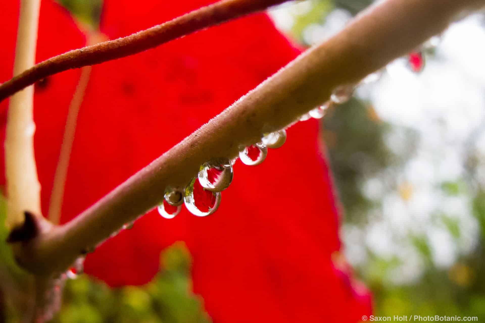 Rain drops on red grape vine leaf 'Roger's Red' (Vitis) fall color