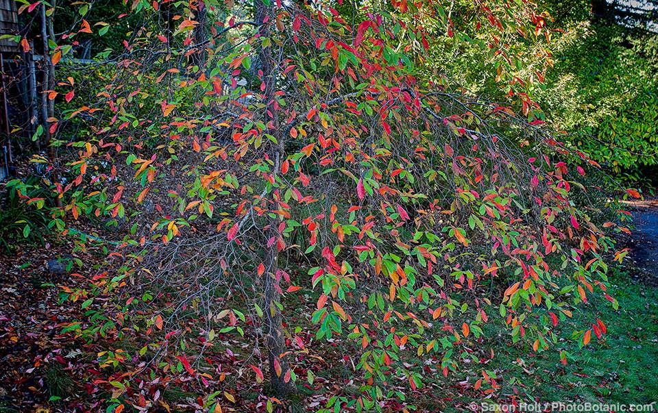 Nyssa sylvatica, Tupelo tree: autumn foliage color in California garden.