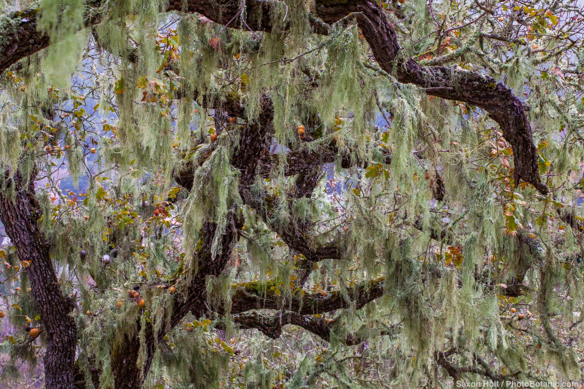 Lace lichen, or Ramalina menziesii Oak trees in autumn on Pinheiro Fire Road, Rush Creek Open Space, Marin County