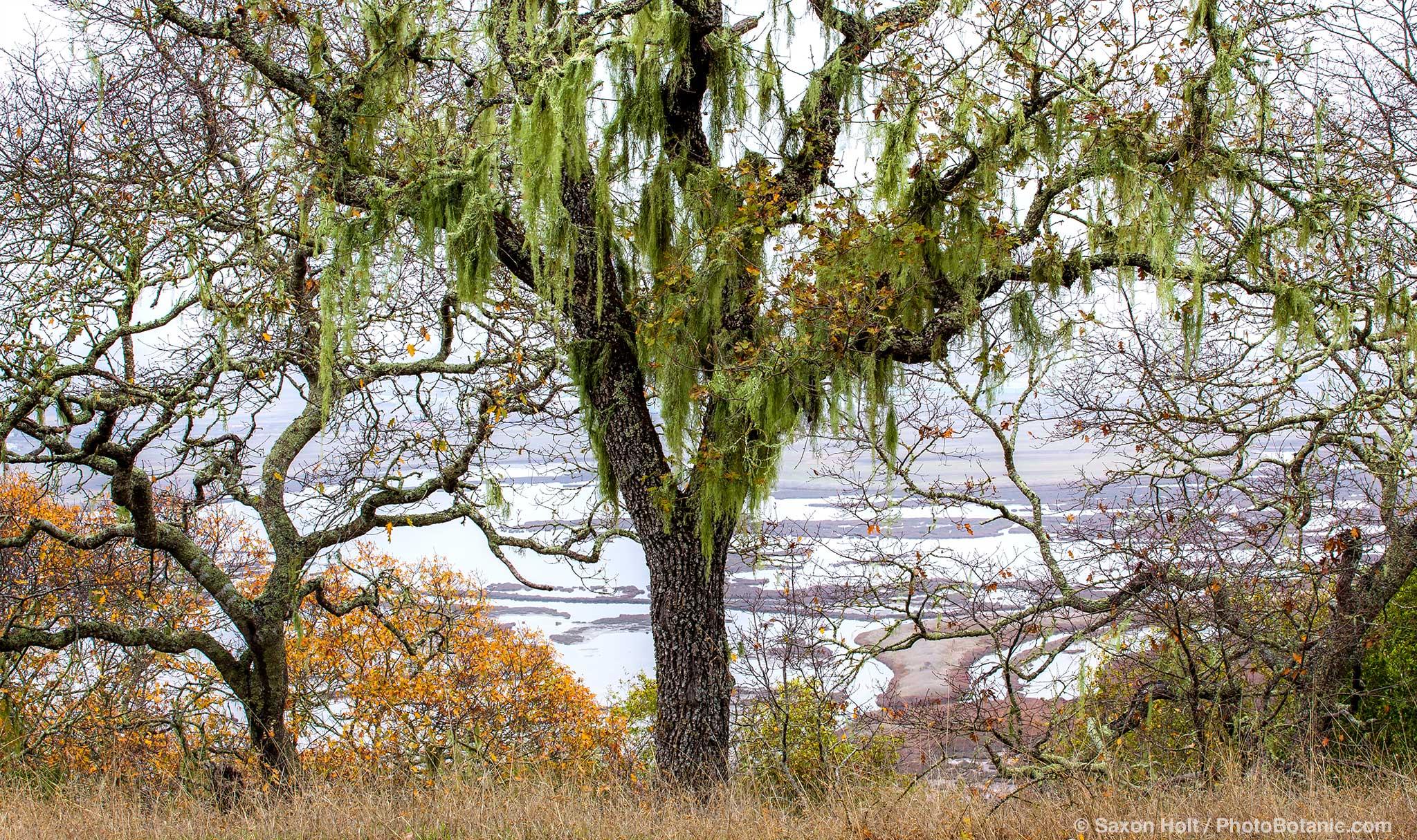 Oak trees with Lace lichen, or Ramalina menziesii in autumn , Rush Creek Open Space, Marin County overlooking Petaluma Marsh