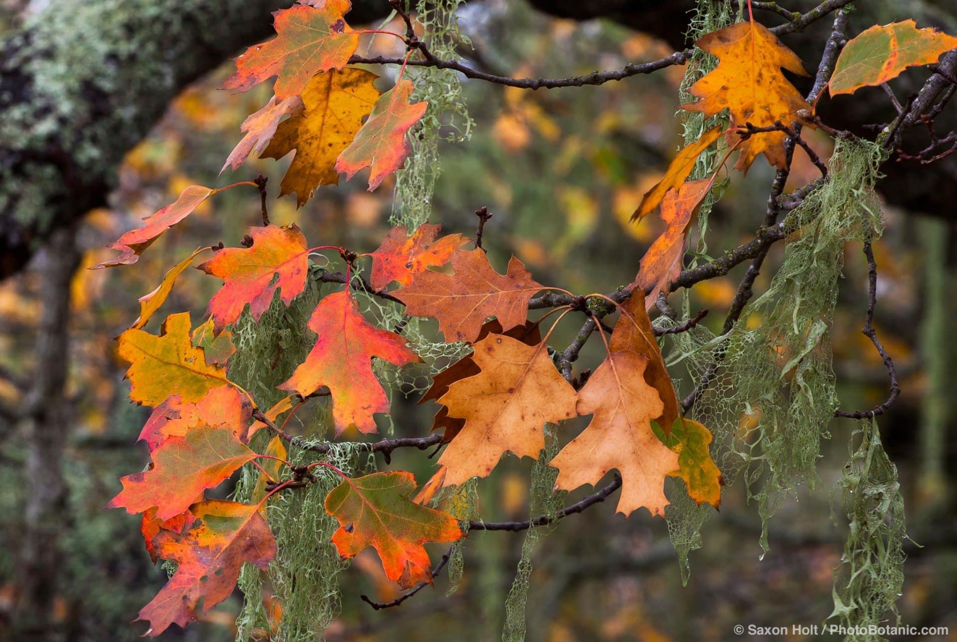 Oak trees in autumn on Pinheiro Fire Road, Rush Creek Open Space, Marin County
