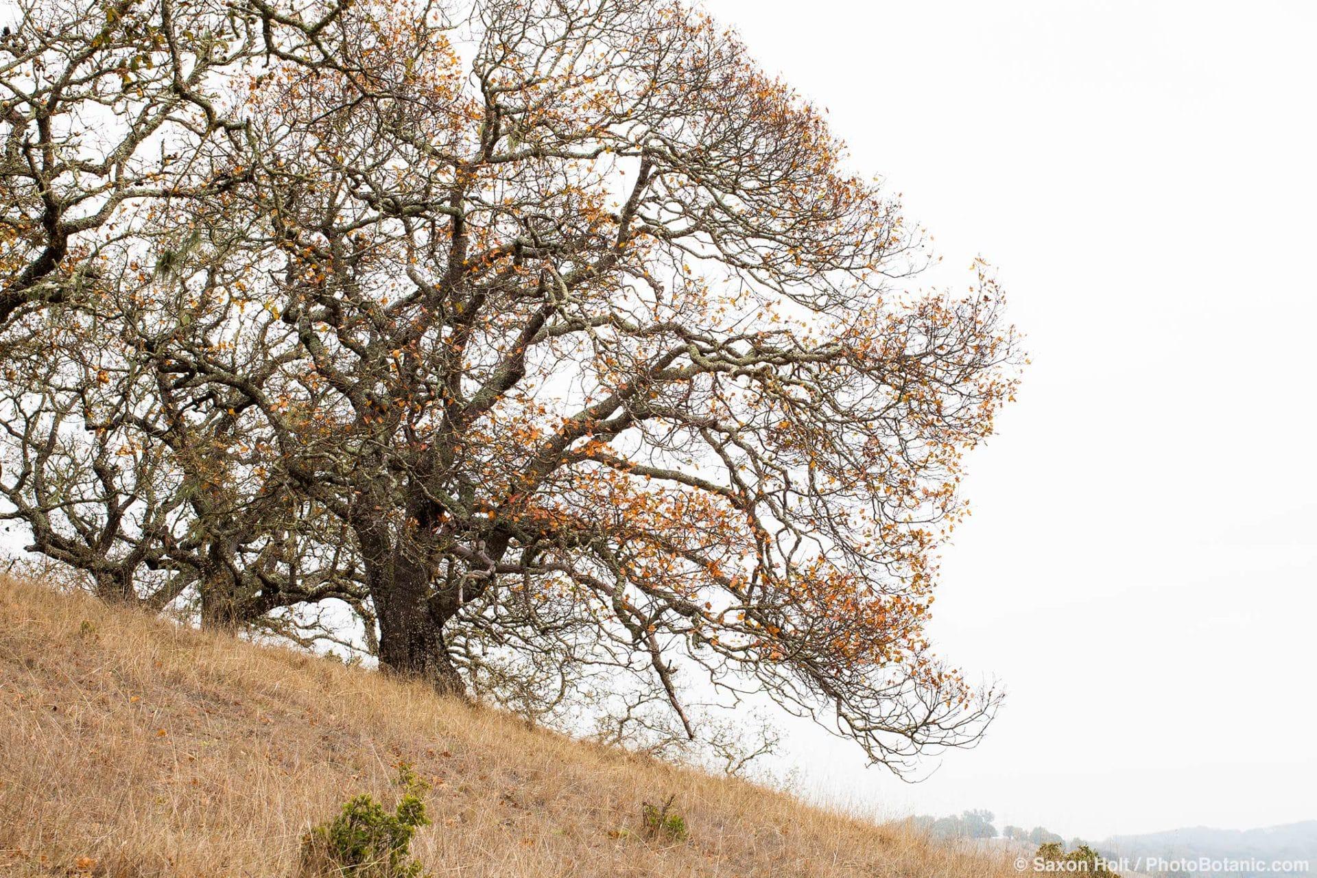 Quercus garryana, White Oak in autumn on Pinheiro Fire Road against fog sky , Rush Creek Open Space, Marin County