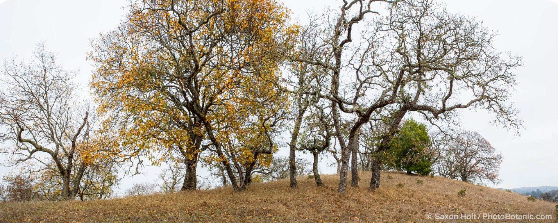 Panorama of Oak trees in autumn on Pinheiro Fire Road, Rush Creek Open Space, Marin County