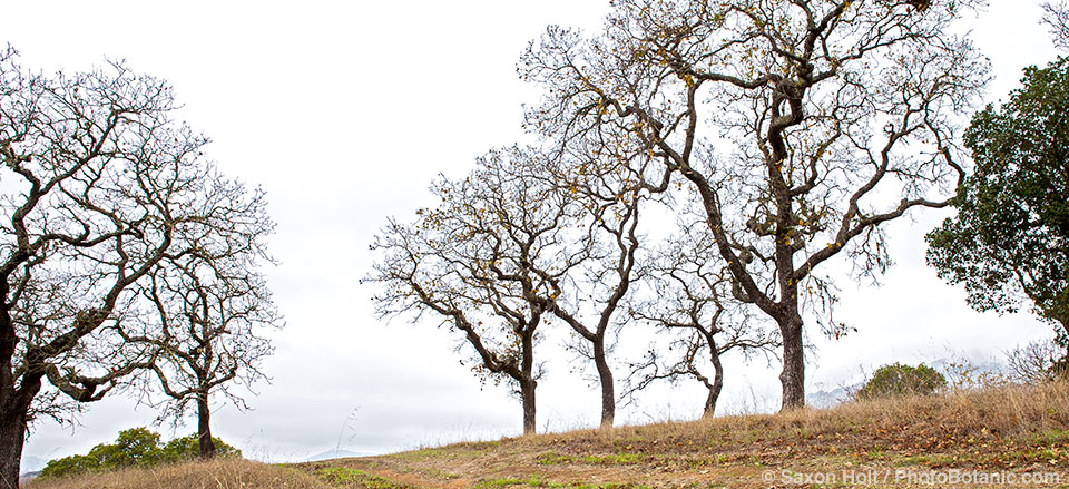Panorama of Quercus kelloggii, California Black trees in winter silhouette branches against foggy sky at ridgeline on Pinheiro Fire Road, Rush Creek Open Space, Marin County