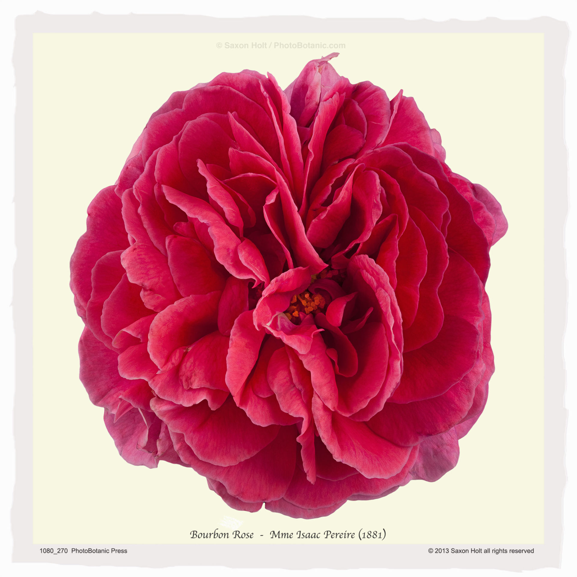 Old rose 'Mme Isaac Pereire, Bourbon (1881), flower silhouette, art print