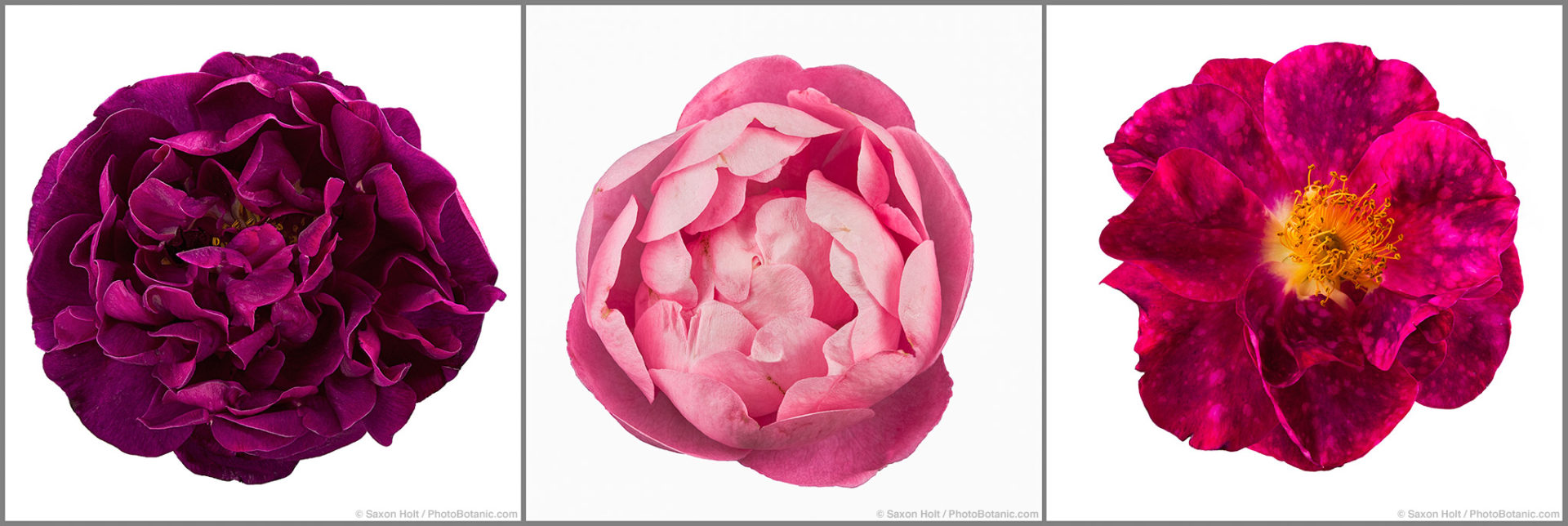 Old roses ( l to r) - 'Sissinghurst Castle', 'Raubritter', Rosa gallica 'Alain Blanchard'silhouette on white background