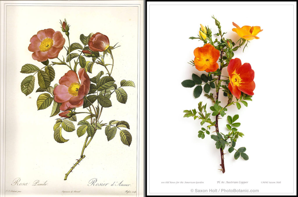 2 roses - redoute print and saxon holt austrian copper